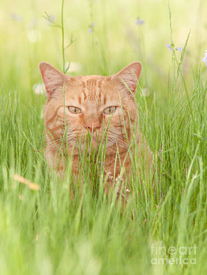 Orange Cat In Green Grass Poster