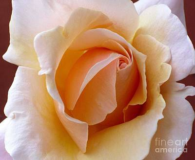 Orange Cream Rose Poster
