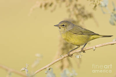 Orange Crowned Warbler Poster