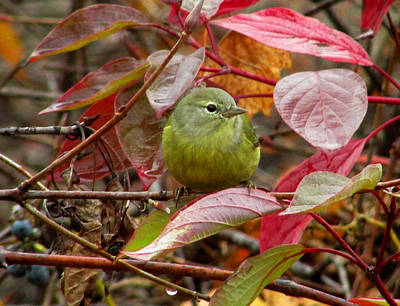 Poster featuring the photograph Orange Crowned Warbler by Kimberly Mackowski