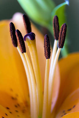 Orange Dream Lily Poster