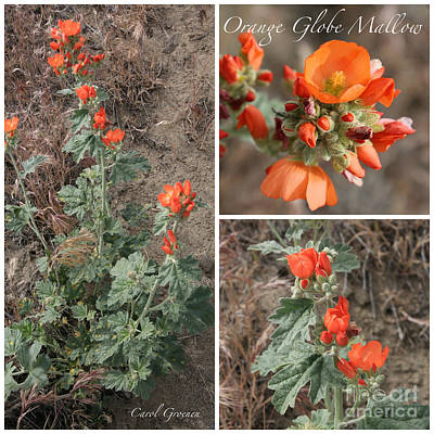 Orange Globe Mallow Collage Poster by Carol Groenen