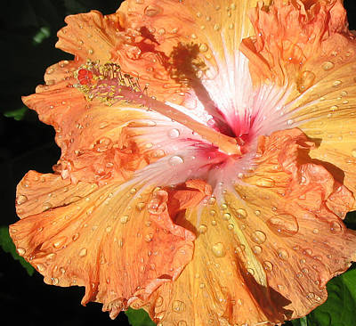 Orange Hibiscus After The Rain Poster by Connie Fox