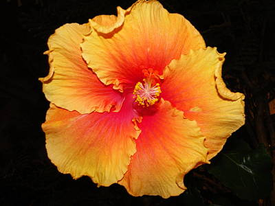 Orange Hibiscus Poster by Cindy Croal