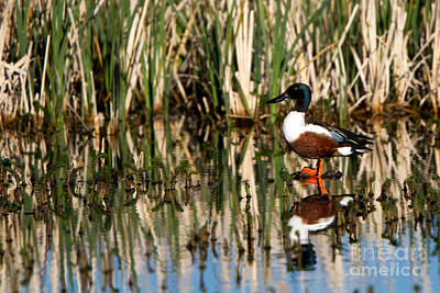Northern Shoveler Orange Legs Poster