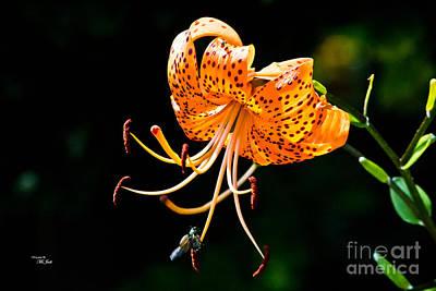 Orange Lily - Lilium Kelleyanum Poster