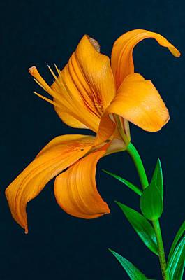 Orange Lily Profile Poster