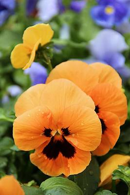 Poster featuring the photograph Orange Pansies by Elizabeth Budd