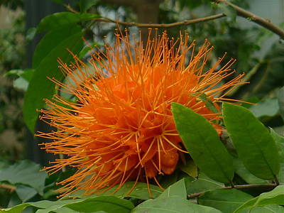 Orange Pin-cushion Plant Poster by Denise Mazzocco