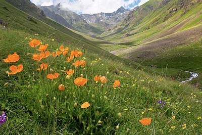 Orange Poppies On A Mountainside Poster by Bob Gibbons