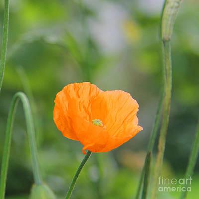 Orange Poppy #2 Poster by Karin Ubeleis-Jones