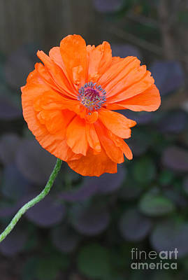 Poster featuring the photograph Orange Poppy by Steve Augustin