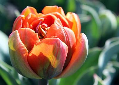 Orange Princess Tulip Poster