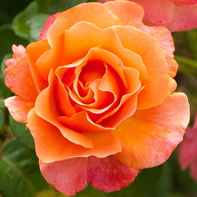 Orange Rose Lillian Poster