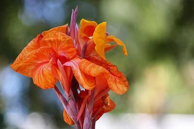 Orange Ruffled Beauty Poster