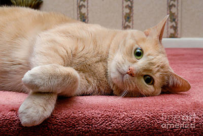 Orange Tabby Cat Lying Down Poster