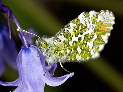 Orange-tip Butterfly On Bluebell Poster by Bob Gibbons