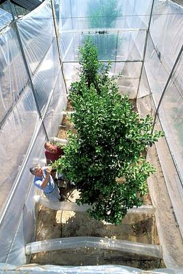Orange Tree Growth Research Poster