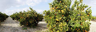 Orange Trees In A Field, Vinaros Poster by Panoramic Images