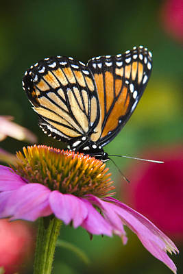 Orange Viceroy Butterfly Poster by Christina Rollo