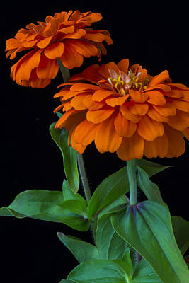 Orange Zinnia Poster by Garry Gay