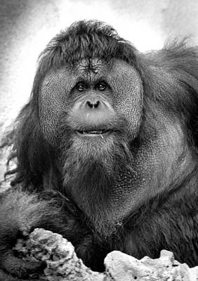 Orangutan Poster by Retro Images Archive
