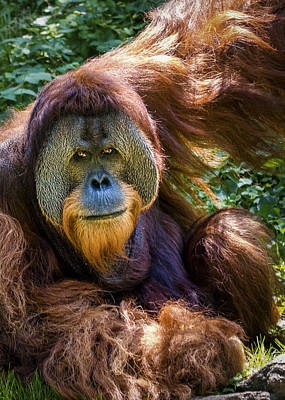 Poster featuring the photograph Orangutan by Rob Amend