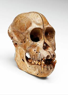 Orangutan Skull Poster