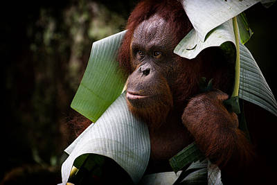 Poster featuring the photograph Orangutan by Zoe Ferrie