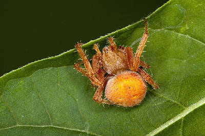 Orb Spider Araneus Gemma Poster by Robert Jensen