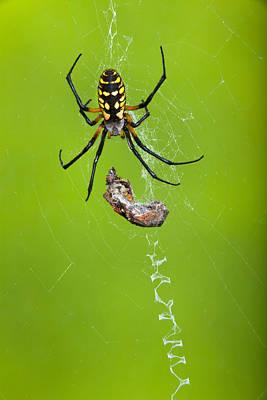orb spider Argiope aurantia  Poster by Robert Jensen