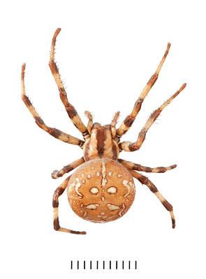 Orb Web Spider Poster