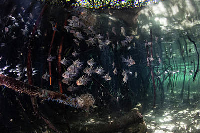 Orbiculate Cardinalfish Swiming Poster by Ethan Daniels
