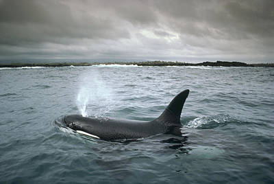 Orca Galapagos Islands Poster by Tui De Roy