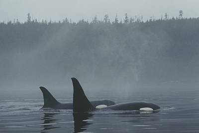 Orca Male And Female Surfacing Canada Poster by Hiroya Minakuchi