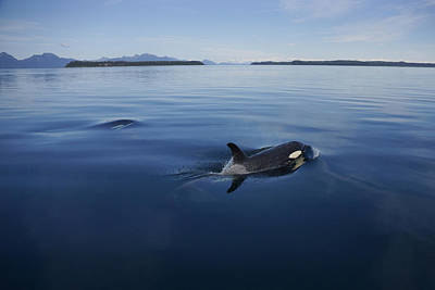 Orca Pair Surfacing Prince William Poster
