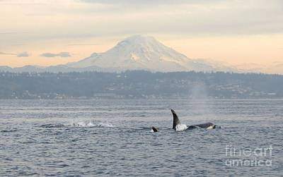 Orcas And Mt. Rainier Poster