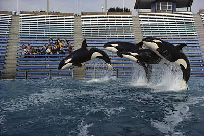 Orcas  Jumping Sea World San Diego Poster by Flip Nicklin