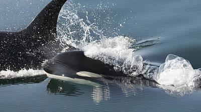 Orcas Surfacing Brothers Island Alaska Poster by Flip Nicklin