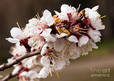 Orchard Blooms Poster by Robert Bales