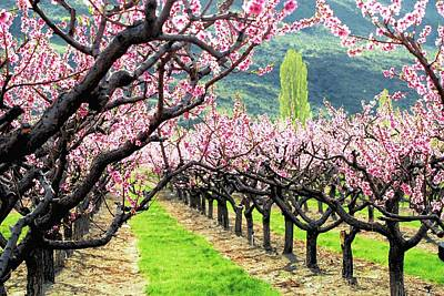 Orchard In Blossom Poster by Don Mann