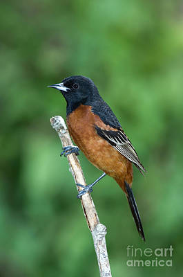 Orchard Oriole Icterus Spurius Adult Poster by Anthony Mercieca