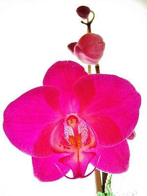 Orchid Angel 1 Poster by Judy Via-Wolff