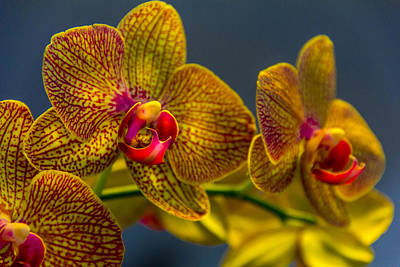Orchid Color Poster by Marvin Spates
