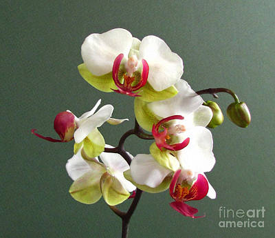 Orchid Poster by Deborah Johnson