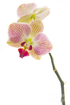 Orchid Poster by Diane Diederich