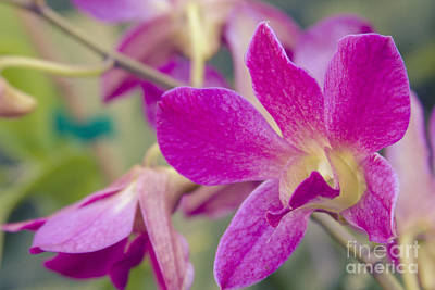 Orchid - Haliimaile Spring Pink Poster by Sharon Mau