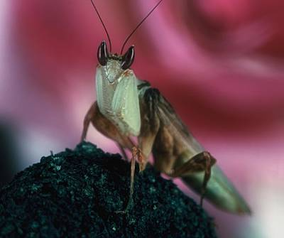Orchid Male Mantis  Hymenopus Coronatus  Portrait  2 Of 9 Poster by Leslie Crotty