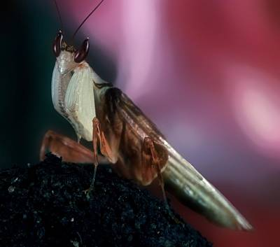 Orchid Male Mantis  Hymenopus Coronatus Portrait  #6 Of 9 Poster by Leslie Crotty