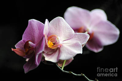 Poster featuring the photograph Orchid by Randi Grace Nilsberg